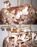 Two successive growth stages of shiitake on artificial (sawdust) log