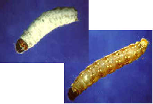 spruce budworm larvae killed by Metarhizium