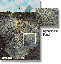 mycorrhizal network of the roots of a small pine seedling