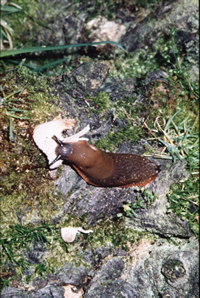 slug finishes off mushroom